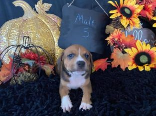 Leah Crow American Staffordshire Terrier Puppies