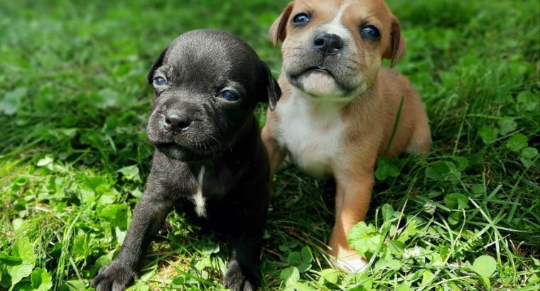 Staffordshire Bull Terrier Puppies Litter in OH