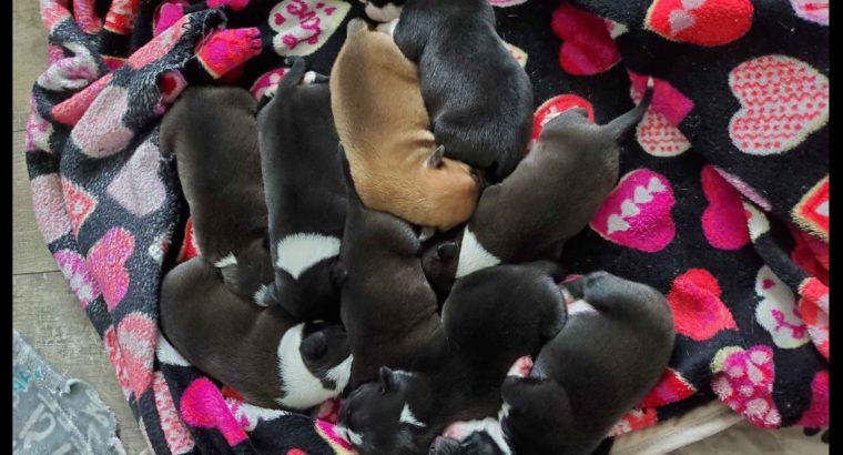 Small Wonder Staffords Puppies Litter