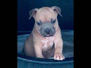 American Staffordshire Terrier Litter Champion bloodline
