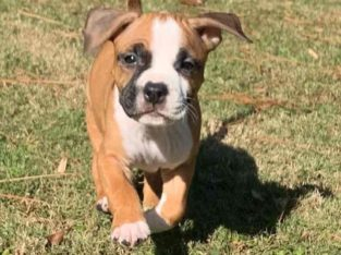 American Staffordshire Puppies Litter