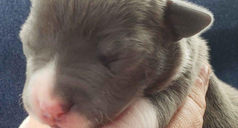 American Staffies Terrier Puppies Litter