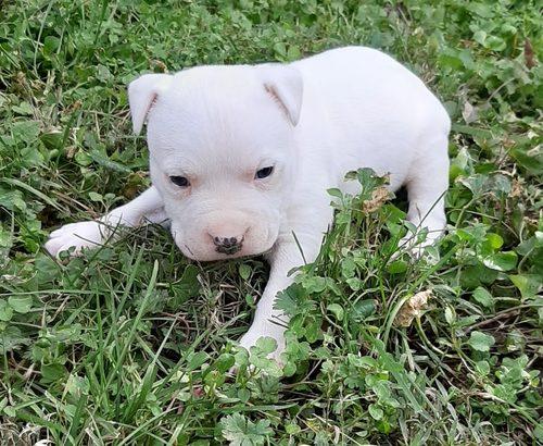 American Staffordshire Terrier Female Puppy