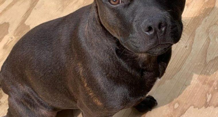 Staffordshire Bull Terrier Puppies – Khalessi Staffies