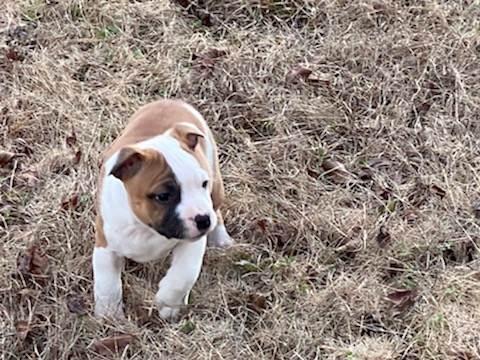 Staffordshire Bull Terrier Puppy Litter