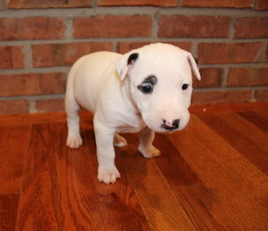 Sparky Staffordshire Bull Terrier Male Puppy